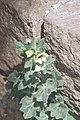 Hyoscyamus albus-2111.jpg