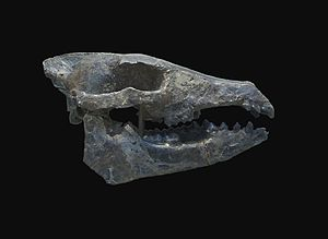 Orleanian - Image: Hyotherium major skull MNHN