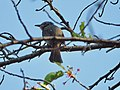 Hypsipetes amaurotis on tree (Ochiai Park) - 3.jpg