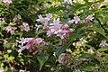 IKolkwitzia amabilis (Paradisbuske) 003.jpg