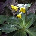 IMG 0473-Primula palinuri.jpg