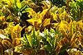 IMG 5768 Flora in Thailand Photographed of Peak Hora.jpg