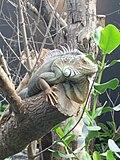 Iguana iguana, Zoo de Vincennes 06.JPG