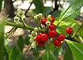 Ilexparaguariensis.jpg