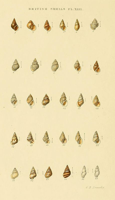 Illustrated Index of British Shells Plate 13.jpg