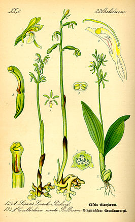 Groenknolorchis