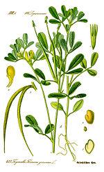 Illustration Trigonella foenum-graecum0 clean.jpg