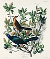 Illustration from Birds of America (1827) by John James Audubon, digitally enhanced by rawpixel-com 187.jpg