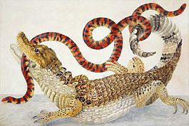 Illustration of a Caiman crocodilus and an Anilius scytale (1701–1705) by Maria Sibylla Merian.jpg