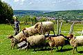 Im Wildpark Bad Mergentheim genießen auch die Nutztiere großes Interesse beim begeisterten Publikum. 04.jpg