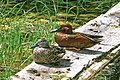In search of Eaglets at Six Mile (Pat) Lake.a pair of Cinnamon Teal (Anas cyanoptera). (18183186386).jpg