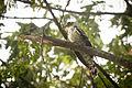 Indian Cuckoo (Cuculus micropterus) (7472697996).jpg