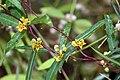 Indian Sarsaparilla - Hemidesmus indicus.(നറുനീണ്ടി, നറുനണ്ടി, നന്നാറി.) (30925540113).jpg