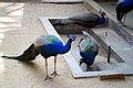 Indian peafowl at Chittagong Zoo (1).jpg