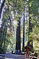 Inside Entrance to Muir Woods parkMG 2632.jpg
