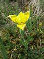 Iris humilis subsp. arenaria sl13.jpg