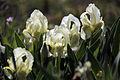 Iris jaune de la garrigue.JPG