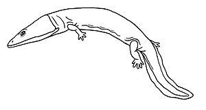 Isodectes - Restoration of Isodectes obtusus