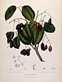 Jambolan or Java plum (Eugenia jambolana Lam.); fruiting bra Wellcome V0042706.jpg