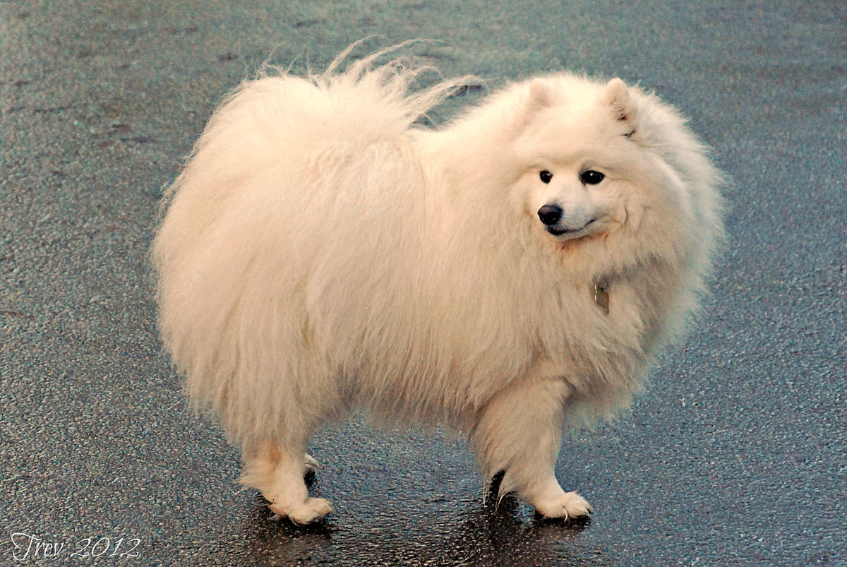 Spitz razza canina wikipedia for Cane volpino