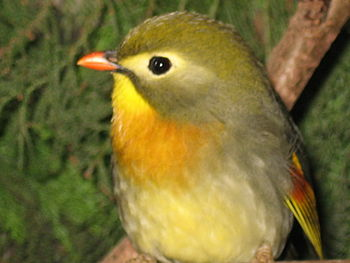 English: Red-billed Leiothrix Nederlands: Japa...