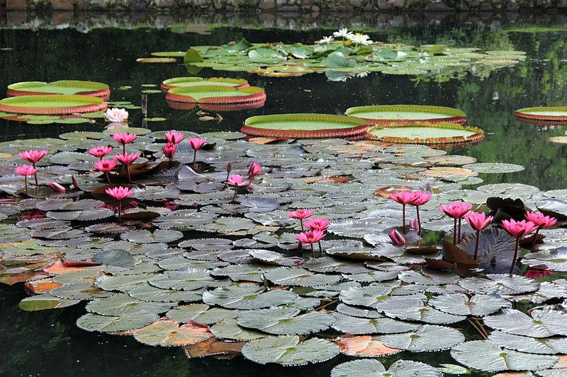 Ficheiro:Jardim Botânico do Rio de Janeiro Vitória-Régia I.jpg
