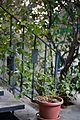 Jasminum sambac 2 years old.jpg