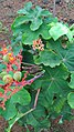 Jatropha podagrica flowers leaves 03.jpg
