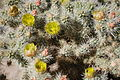 Joshua Tree National Park - Cholla Cactus (Cylindropuntia bigelovii) - 13.JPG