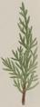 Juniperus bermudiana detail.png