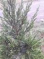 Juniperus chinensis at Akola1.jpg