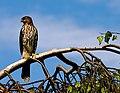 Juvenile Cooper's Hawk- Accipiter cooperii.jpg