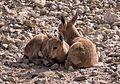 Juvenile Nubian ibex (50841).jpg