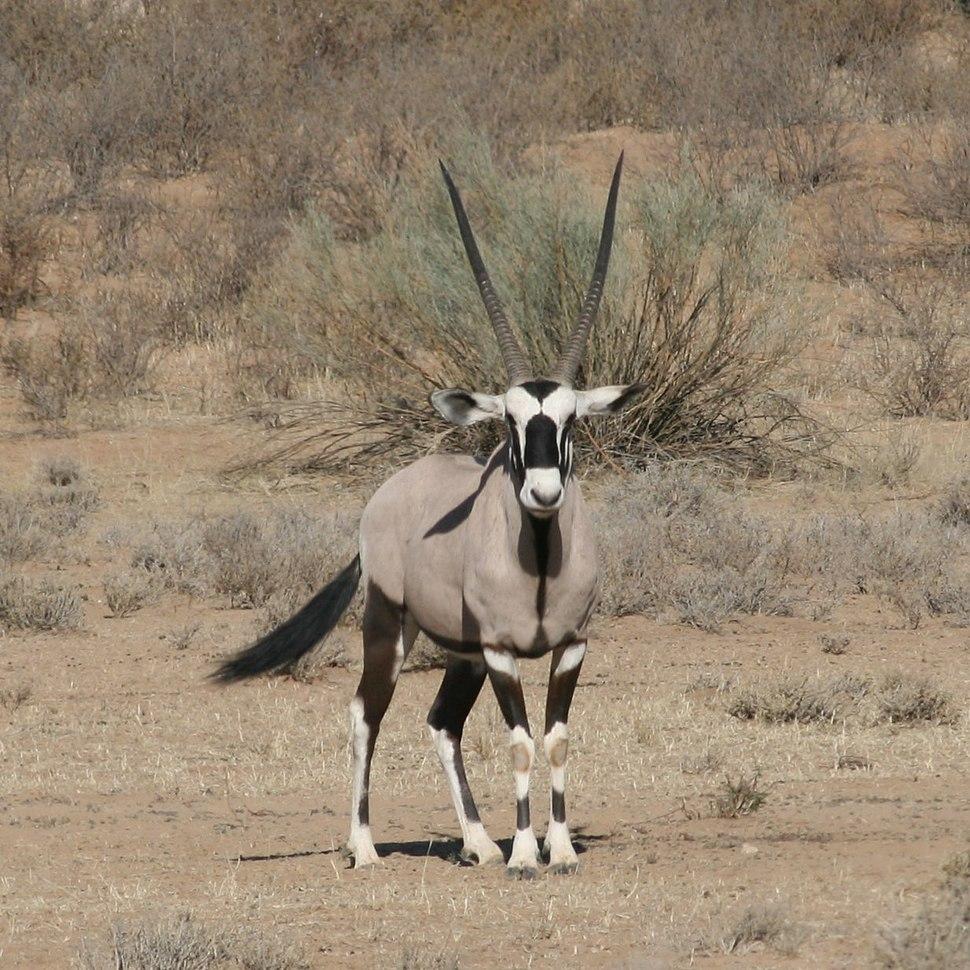 Kalahari gemsbok Oryx gazella