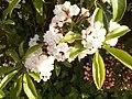 Kalmia latifolia at University of Washington 1.jpg