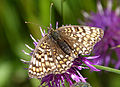 Knapweed Fritillary or False Heath Fritillary (15575051693).jpg