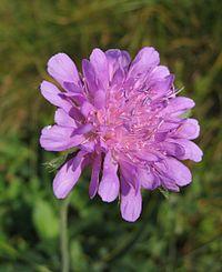 Knautia arvensis-01 (xndr)