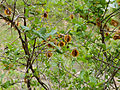 Knobbly Bushwillow (Combretum mossambicense) (11619369893).jpg
