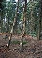Knotted trunk in Fenn's Wood - geograph.org.uk - 403951.jpg