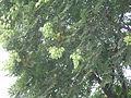 KoelreuteriaPaniculata9.jpg