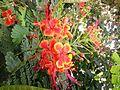 Krishnachura flower (3).jpg