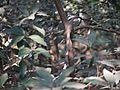 Kukka Karpooram (Telugu- కుక్క కర్పూరమ) (8257550742).jpg