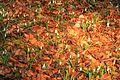 Kvetoucí sněženky v PP Sněženky ve Vysokém lese 13.jpg