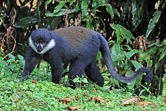 L'Hoest's monkey - At the Bwindi Impenetrable Forest, Uganda