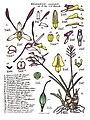 LR020 72dpi Dendrobium carronii.jpg