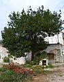La Montalbana, arbre.JPG