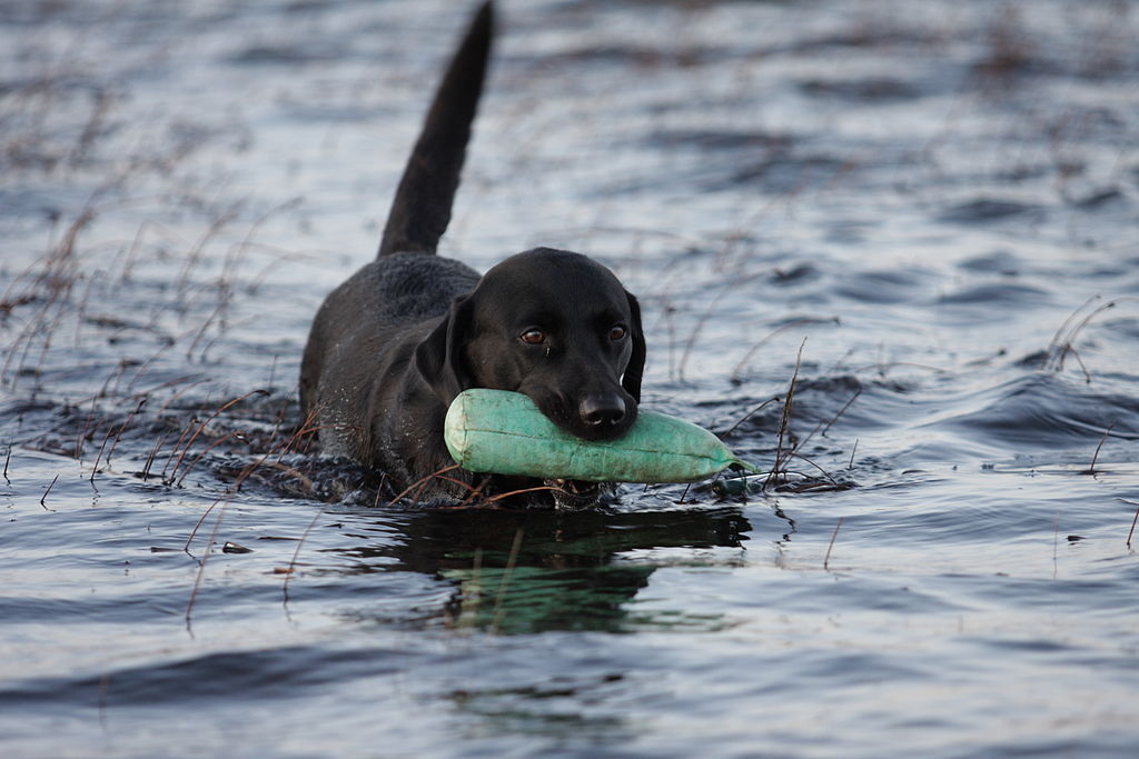 Retriever Training Hunting Dogs