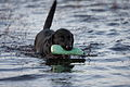 Labrador Retriever Nessie Water.JPG