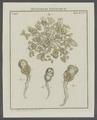 Lacinularia albo-flavicans - - Print - Iconographia Zoologica - Special Collections University of Amsterdam - UBAINV0274 101 04 0003.tif