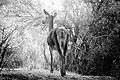 Lady deer.jpg